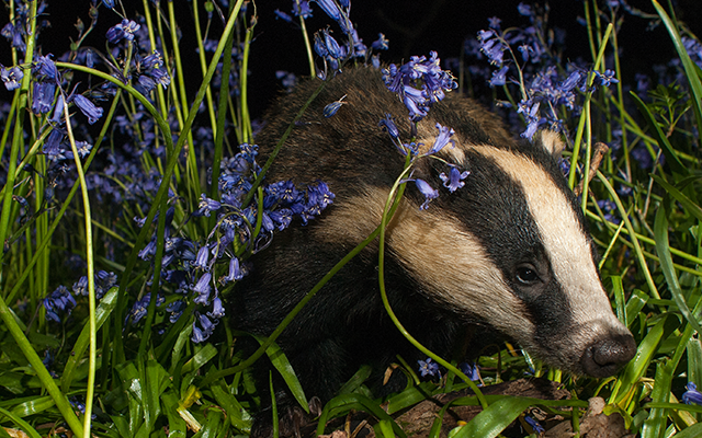 Badger Watch at Wytham Woods