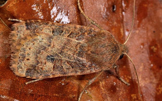 Chestnut moth (Conistra vaccinii)