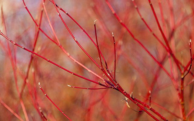 Dogwood (Cornus sanguinea)