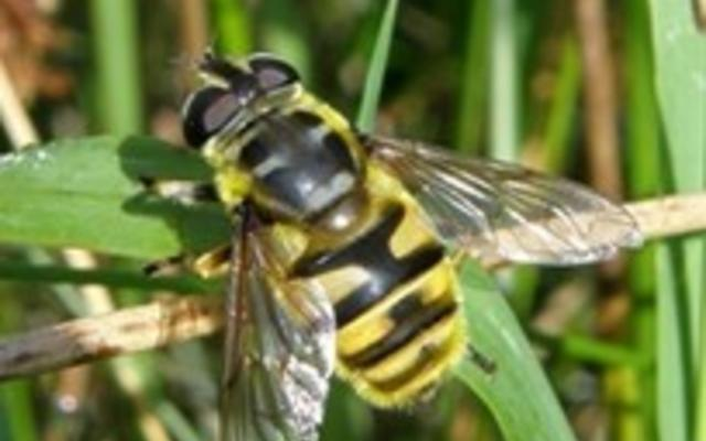 A photograph of a Batman hoverfly settled upon a leaf.