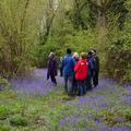 bluebell dawn chorus small