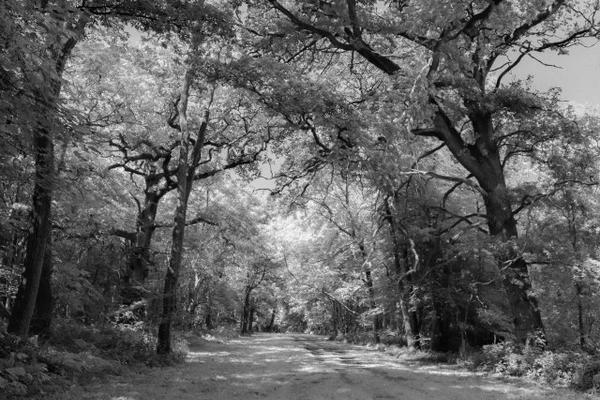 Black and white photo of bare trees lining a road