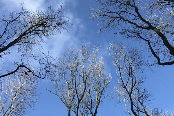 Ash trees in winter, in front of a blue sky