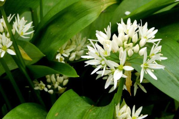 Ramsons (Wild Garlic)