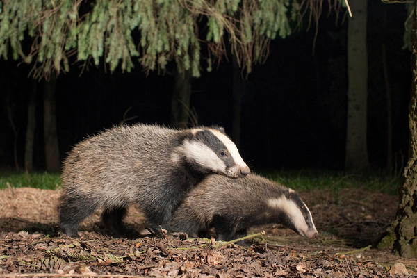 Two badgers walking over brown leaves within the woods.