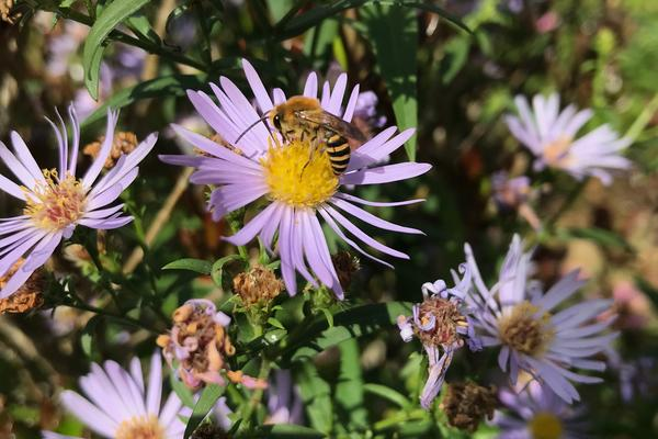 Bee on a pink daisy flower, surrounding by more pink daisies with bright yellow centers