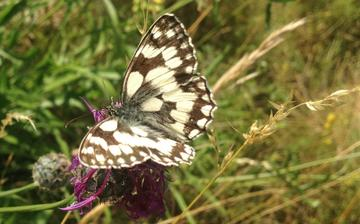 Open winged white, brown spotted butterfly landed on a small purple flower, surrounded by long grasses