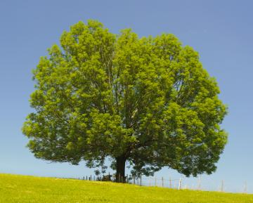Single ash tree- shutterstock