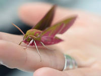 Image of large green and pink Moth standing on a human hand